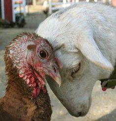 ♔A Katahdin Lamb and his friend