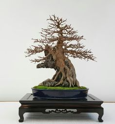 Bonsai engarzado en roca