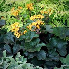 Ligularia dentata 'Britt-Marie Crawford' | Black-leaved Ligularia | Clump of large rounded maroon-black leaves; tall stems bear bright golden orange daisy-like flowers. Flowers and leaves great for cutting | Height: 3-4 ft | Width: 24-36 in | Soil Conditions: Moist | Flower Color: Gold | Bloom Time: July,August,September | Hardiness Zone: 3 TO 9 | Full to part Shade | MWG