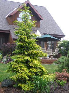 60 Beautiful Front Yards And Backyard Evergreen Garden Design Ideas - artmyideas Garden Spaces, Backyard Garden, Evergreen Landscape, Conifers Garden, Landscape Design, Outdoor Gardens, Evergreen Garden, Garden Design, Backyard