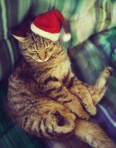 sleepy Christmas cat ...>^.^<...