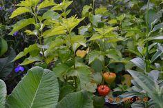 Kukkaiselämää - My flowering life  Kiinankoisopallo - Chinese Eggplant ball