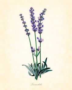 Vintage Lavender Botanical Art Print 8x10 Home Decor Purple Cottage Chic.     Could be fun to do all plants we actually grow