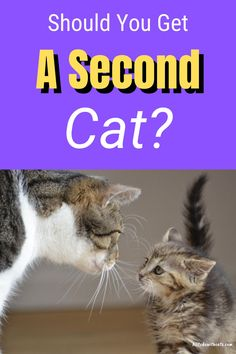 Should I get another cat or will my resident cat hate it? Discover the pros and cons of adding to your fur family and tips to help both cats get along. Plus, lots more #shouldigetanothercat #gettinganothercat #multicathome