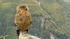 Mountain parrot - Kea - Stock Footage | by JahnProductions