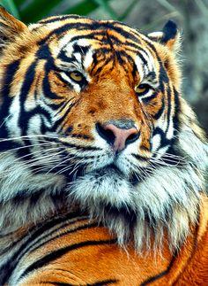Tiger relaxing Photo byEdwin Leung