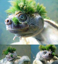 La tortuga Punk (Elusor-macrurus), es una tortuga acuática que habita en el Rio de Mary en Australia, su punki esta formada por algas que le han crecido naturalmente. Estas algas le sirven como protección ante depredadores
