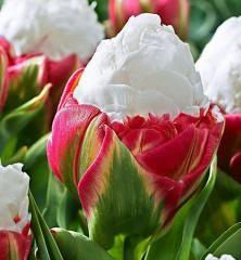 Tulipán ´ICE CREAM´ 1 ks v črepníku