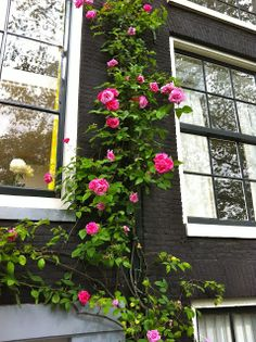 Climbing rose in Amsterdam From NorthernCalStyle.com