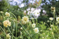Cephalaria gigantea. Diese imposante aber sehr luftig-leichte Großstaude erinnert an eine riesige Skabiose. Auf freien Flächen oder in größeren Töpfen kommt sie am besten zur Geltung, da gerade ihr locker-durchsichtiger Wuchs den Reiz ausmacht. Selbst in kleineren Gärten auf beengtem Raum wirkt sie niemals erdrückend. Im Gegenteil, es ist erfrischend Blüten auf Augenhöhe zu betrachten und dennoch einen unverstellten Blick durch den Garten genießen zu können.    Hinsichtlich der Ansprüche… Gras, Wimbledon, Dandelion, Flowers, Plants, Water Plants, Fall Color Schemes, Little Gardens, Shade Perennials