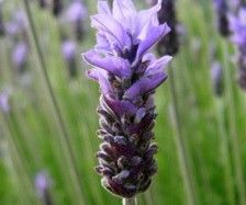 Lavendel (Lavandula dentata 'Royal Crown')-directplant