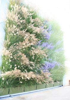 Heavenly living wall.  Planted with 'Little Spire' Russian Sage, 'Little Bunny' Fountain Grass and 'Morning Light' Japanese Silver Grass