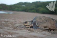 Playa La Flor es un santuario de la naturaleza. Nicaragua está bendecida con muchas playas donde las tortugas Paslama llegan a dejar sus huevos. Estas tortugas marinas pesan alrededor de 45kg y...