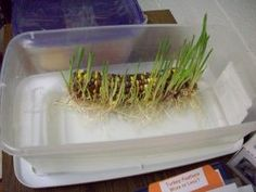 This looks cool! Place an ear of Indian corn on a shallow dish of water. Fill dish so that it just covers bottom third of corn - corn should not be submerged. place in sun or under a lamp and watch it grow! Fall Preschool, Kindergarten Science, Preschool Classroom, Teaching Science, Science For Kids, Science Activities, Life Science, Preschool Activities, Science Fun