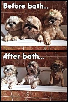 Shih Tzus not liking bathtime