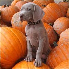 Pumpkin picking just got so much cuter with this Weimaraner puppy!