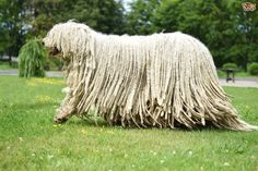 all dog facts research findings and behaviors of all breeds: KOMONDOR DOG Weird Looking Animals, Unusual Animals, Chien Komondor, Mop Dog, Puli Dog, Rare Dogs, Dog Hotel, Havanese Puppies, Maltese Dogs