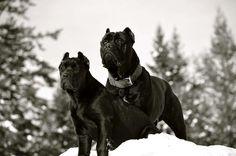 #Corsos Cane Corso Italian Mastiff, Cane Corso Mastiff, Staffordshire Terriers, American Staffordshire, Doggies, Dogs And Puppies, Black Pitbull, Mastiff Breeds, Dog Photography
