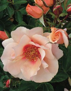 Sweet Spot® Peach is such a full, beautiful rose I find it irresistible. The subtle shading from the darker center outward is pleasing to the eye. the buds provide a darker peach. The combination of buds and open flowers is beautiful. I can almost smell the fragrance.