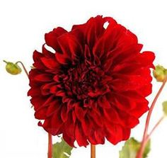 Dahlia Red Dinner Plate Mayesh Wholesale Florists - Search our Flower Library
