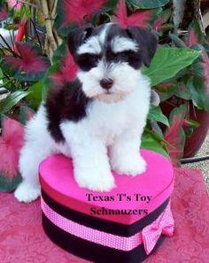 Texas T's Toy Schnauzers  http://toyschnauzersrus.com Liver and White parti schanuzer