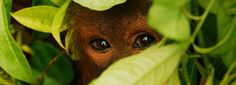 Oragutan Foundation International in Indonesia : Volunteer and help rehabilitate Orangutans - definitely near the top of my bucket list!