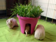 Undercover Guinea Pigs: Life on the Balcony