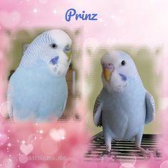 Mein kleiner Prinz - Wellensittich Forum und Galerie fuer Wellensittich-Freunde Parrot, Fish, Pets, Animals, The Petit Prince, Budgies, Friends, Parrot Bird, Animales