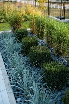 Modern mix of Porcupine Grass, cubed Boxwood, and Blue Lyme Grass surrounded by Mexican Beach Pebble