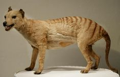 Scientists believe they have finally solved the mysterious disappearance of the Tasmanian tiger from the Australian mainland, concluding that the extinction was due to extreme weather and drought rather than wild dogs or hunting by Aborigines. Tasmanian Tiger, Tasmanian Devil, The Chupacabra, Gato Grande, Extinct Animals, Wild Dogs, Endangered Species, Predator, Fossils
