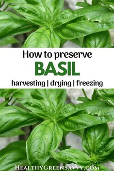 Want to keep enjoying delicious basil well into the winter? Here's what to know about how to preserve basil by drying and freezing. #dryingbasil #preservingbasil #dehydrating #seasonaleating #foodpreservation #herbs Freezing Basil, Preserving Basil, Natural Energy Sources, Dried Basil Leaves, Dehydrated Vegetables, Green Living Tips, Feel Good Food, Eat Seasonal, Dehydrator Recipes