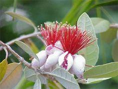 Fleurs de feijoa