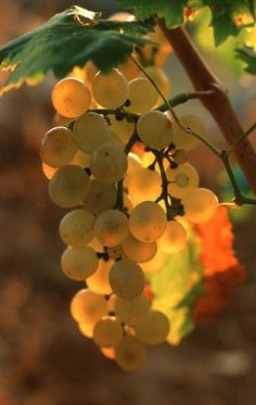 ~ grapes at harvest ~ Fruit And Veg, Fruits And Veggies, Fresh Fruit, Vegetables, Photo Fruit, Wine Vineyards, Vides, In Vino Veritas, Italian Wine
