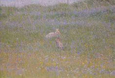 Hares & Blue Bells, Rathlin Island