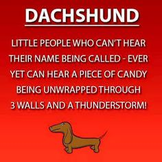 (Or a cheese stick wrapper, lol) halloween dachshund, funny daschund, pool funny Dachshund Breed, Dachshund Quotes, Dachshund Funny, Long Haired Dachshund, Mini Dachshund, Daschund, Christmas Dachshund, Dapple Dachshund, Dachshund Gifts