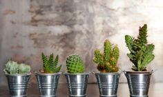 Iníciate en el increíble mundo de los cactus y las plantas crasas. Descubrirás que son los perfectos aliados para realizar sorprendentes composiciones y que además requieren muy pocos cuidados. Cactus Planta, Cactus Y Suculentas, Bonsai, Tiny Cactus, Cacti And Succulents, Planting Flowers, Vines, Planter Pots, House Styles