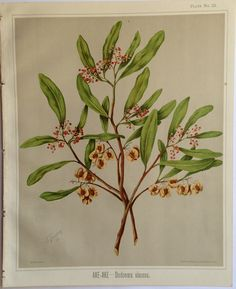 Sarah Featon, AKE-AKE, Dodonoea viscosa.  Sara FEATON  Hand-coloured engravings from The Art Album of New Zealand Flora, 1889. It contained descriptions of the native flowering plants of New Zealand and the adjacent islands.
