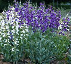 Power Flowers - Penstemon