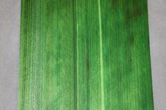 Dyed Green Hinoki Cypress Veneer