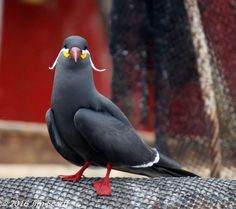 Inca tern () Arica harbor, Chile