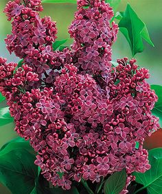 This Lilac Mr. President Bareroot by New Holland Plants is perfect! #zulilyfinds