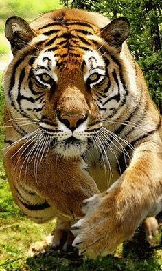 All Animals - Tiger - Pretty Cats, Beautiful Cats, Animals Beautiful, Pretty Kitty, Animals And Pets, Cute Animals, Wild Animals, Grand Chat, Gato Grande