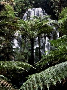 New Zealand: Giant ferns and waterfall in the Horo Horo forest on North Island's geothermal plateau. Some of the trees were more than 600 years old.