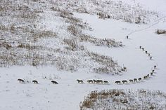 A massive pack of 25 timberwolves hunting bison on the Arctic Circle in northern Canada. In mid-winter in Wood Buffalo National Park temperatures hover around The wolf pack, led by the alpha female, travel single-file through the deep snow to. Northern Canada, Timberwolf, Packing To Move, Ends Of The Earth, 3 In One, Haiti, Sick, Old Things, Internet