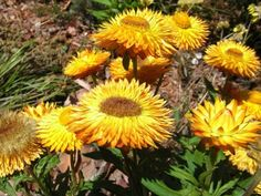 Another native flower there~ beautiful bright yellow! So big too!