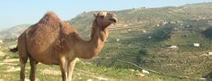 Find out some interesting facts about camels from SPANA. The charity helps thousands of camels every year. Read more about working camels at SPANA. Bactrian Camel, Racehorse, Unique Animals, Camels, Make A Donation, Cute Photos, Charity, Fun Facts, Book
