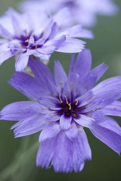 Catananche caerulea Seeds £2.22 from Chiltern Seeds - Chiltern Seeds Secure Online Seed Catalogue and Shop