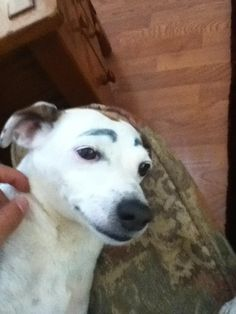 My friend has convinced me that drawing eyebrows on your dog makes everything is does funny - Imgur