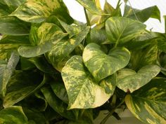 """Top 10 Houseplants: #5 Golden Pothos - You won't say """"The devil made me do it"""" when you buy this plant. Golden pothos or Devil's ivy can be showcased as a climbing plant or in a hanging basket. It produces abundant yellow-marbled foliage. If you want to share or propagate more plants for yourself, just take tip cuttings. It is that easy!"""
