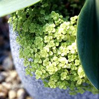 Ogon' is a textural eye-catcher with its shiny, round, cream-yellow leaves. Grace the edges of pots or let this sedum wander through your rock garden. Grow in full sun. Zones 6-9.